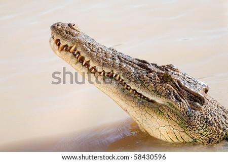 Head of a dangerous crocodile in the water