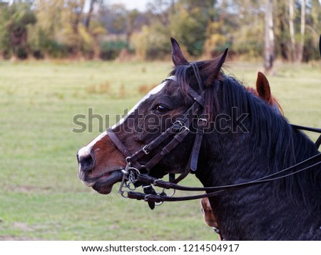 Head of a dark brown horse in a bridle with meadow in background #1214504917