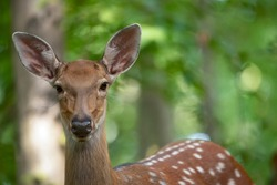 Head of a female deer close-up. Selective focus.