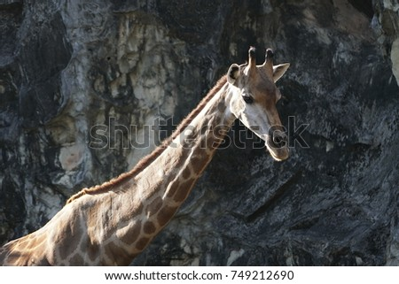 head of a giraffe  #749212690