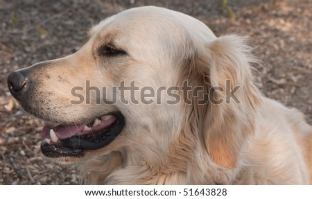Head of a Golden Retriever