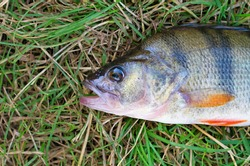 head of a large bass fish lays on the green grass