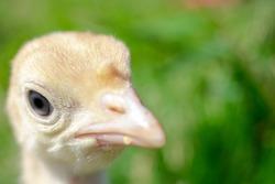 Head of a little turkey. Close up yellow turkey. Macro head of a turkey-poult. Cute little bird.