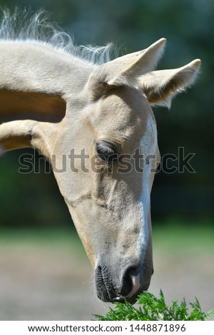 Head of a palomino Akhal Teke foal. Close up portrait, horse sniffing grass. #1448871896