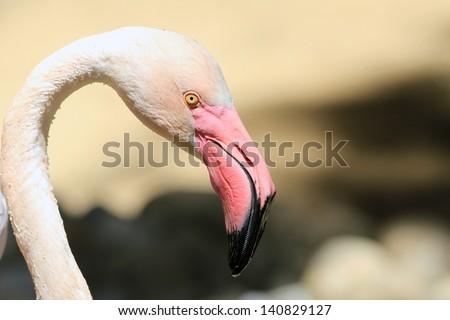 Head of a pink flamingo close up