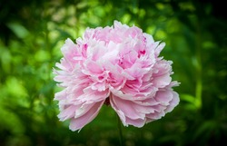 Head of a pink peony flower