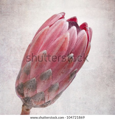 Head of a protea flower, vintage effect. - stock photo