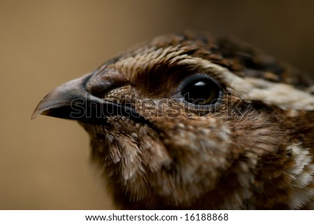 Head of a quail with soft blurred background