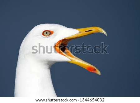 Head of a screaming adult Lesser Black-backed Gull, Larus fuscus, against blue sky.