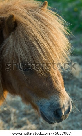 Head of a Shetland pony
