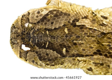 Head of a skinned Puff Adder (Bitis arietans) showing details of the scales, on white.