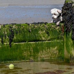 Head of a small white terrier dog looks longingly over a beach groyne (sea defence) at a green tennis ball floating out of reach in the water. The wooden structure is covered in slimy green algae.