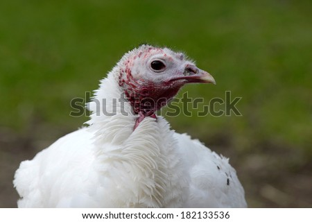 head of a white turkey