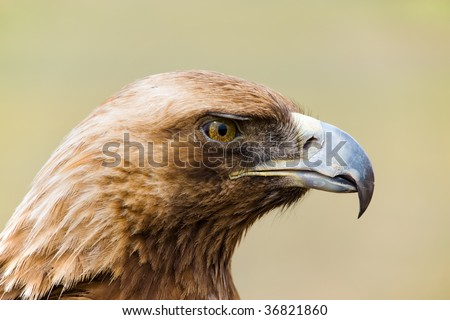 golden eagle head. Head Of A Wild Golden Eagle In
