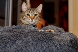 Head of a young tabby tomcat whose body is sunk into a large soft pillow - his gaze is attentive and curious