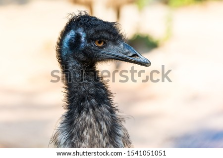 Head of an emu (Dromaius novaehollandiae),  the second-largest living bird by height, after its ratite relative, the ostrich. #1541051051