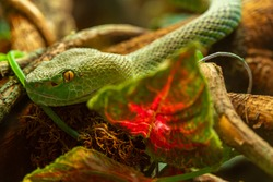 Head of Asian palm pit viper Trimeresurus and yellow eyes disguised in stones, green poisonous snake