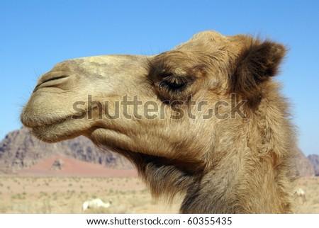 Head of big camel in Wadi Rum desert, Jordan