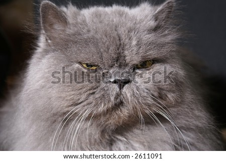 Head of big fat persian cat on dark background
