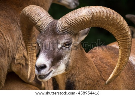 Stock Photo Head Of Big Horn Sheep With Big, Beautiful Horn