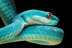Head of blue viper snake on branch, viper snake, blue insularis, Trimeresurus Insularis