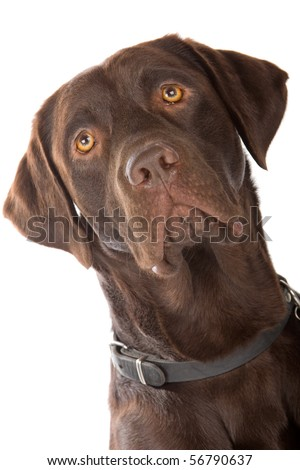 head of chocolate labrador retriever dog isolated on a white background