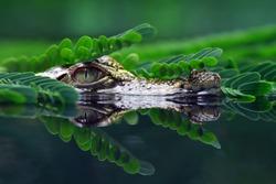 Head of crocodile on the river, head of crocodile, animal closeup