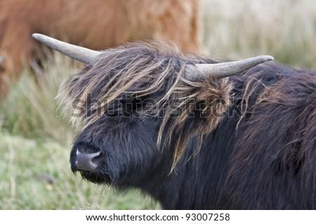 head of dark highland cattle in scotland - stock photo