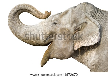 head of elephant on white background