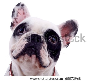 head of french bulldog isolated on a white background