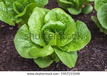 Head of fresh, organic romaine lettuce growing in a suburban kitchen garden Photo stock ©