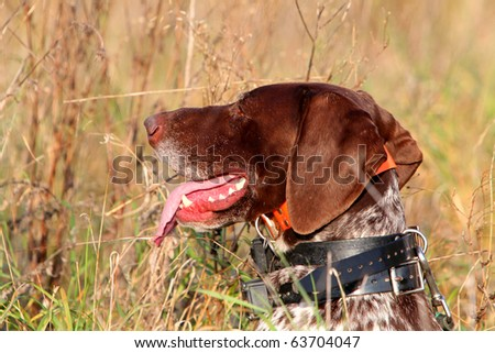 Head of German shorthaired pointer #63704047