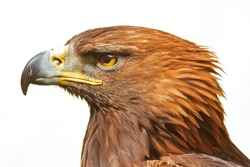 head of golden eagle isolated