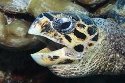Head of Hawksbill sea turtle (Eretmochelys imbricata) underwater in the Maldives