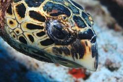 Head of Hawksbill sea turtle (Eretmochelys imbricata) underwater in the reef of the Indian Ocean