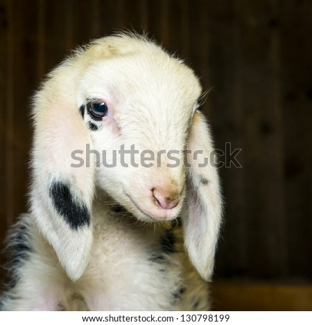 head of innocent newborn black dotted lamb looking in his barn