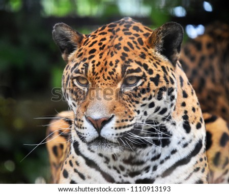 Head of jaguar #1110913193