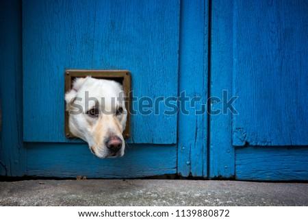 Head of Labrador dog sticking through cat flap