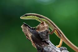 Head of Leaves lizard on wood
