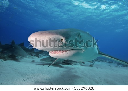 Head of Lemon Shark in detail