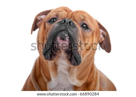 Head of old english bulldog isolated on a white background