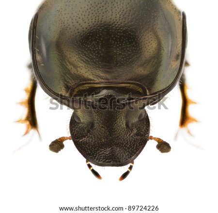 Head of Onthophagus illyricus, dung beetle, isolated on a white background