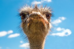 Head of ostrich on clear sky backdrop. Beak of ostrich. Portrait of ostrich head. African ostrich looks into the camera, has a funny look. Largest living bird. Zoo bird. He poses comically