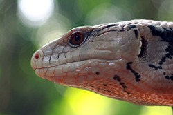 Head of panana lizard closeup, lizard closeup