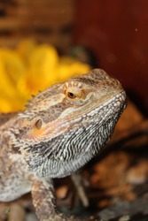 Head of Pogona Vitticeps Lizard. Also called Dragon bearded for the presence of scales under the neck that swell when it is angry. Beautiful reptile. World Lizard Day. International Reptile Day