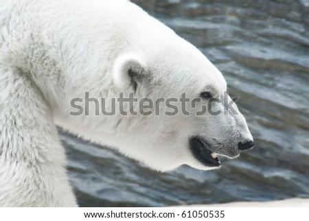 Head of polar bear