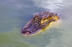 Head of  predatory reptile crocodile on the surface of the water. Nile crocodile swims on the water.