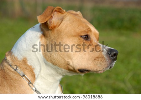 head of purebred american staffordshire terrier with collar