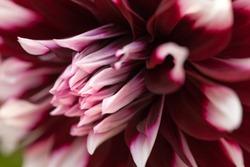 Head of purple and white dahlia closeup. Flower nature backround, petals macro.