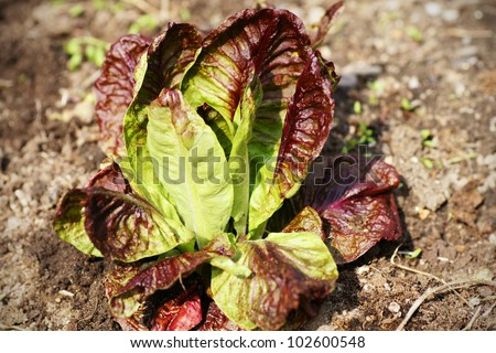 Head of red lettuce growing in the garden, organic healthy food over compost.